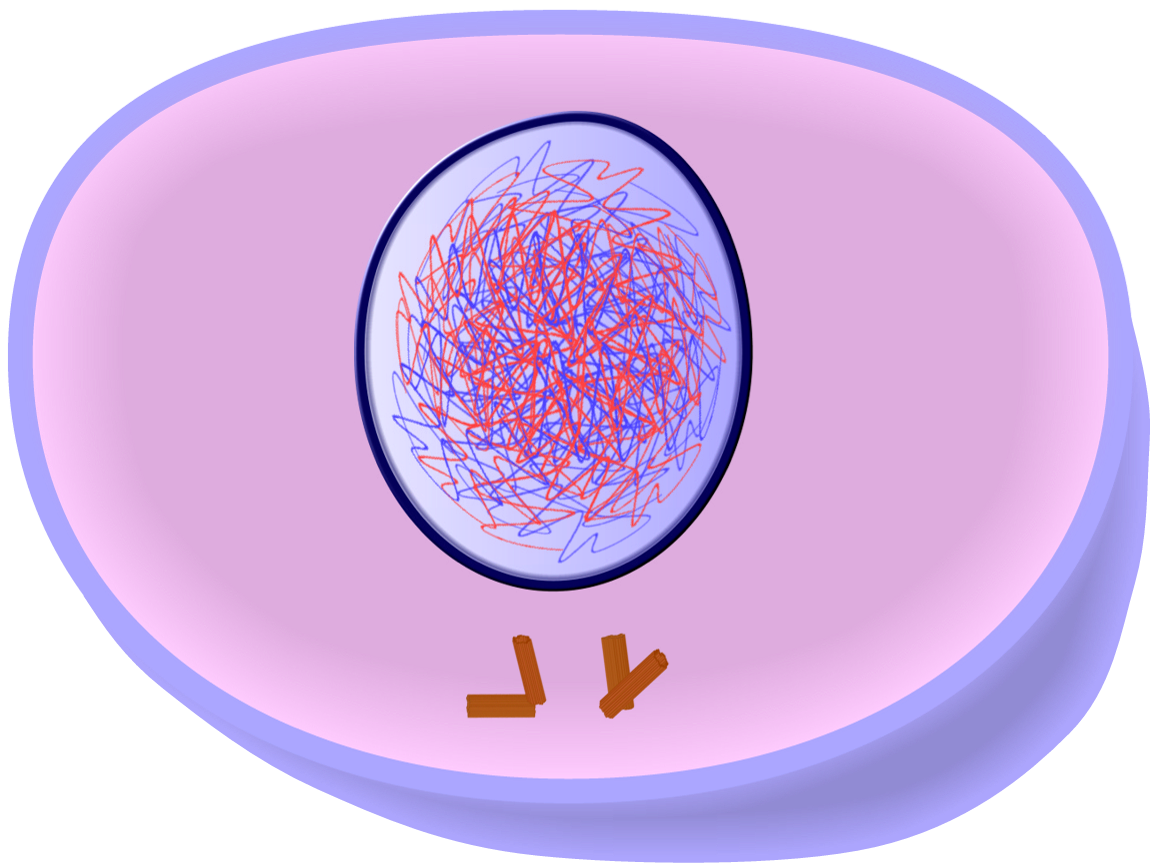 Chromatin drawing interphase. Edupic cell drawings interphaseg