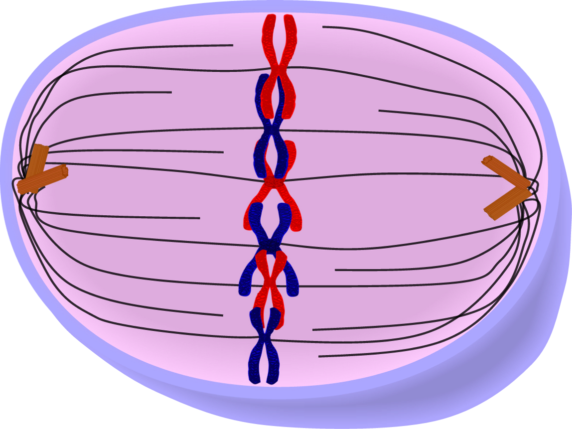Chromatin drawing interphase. Edupic cell drawings