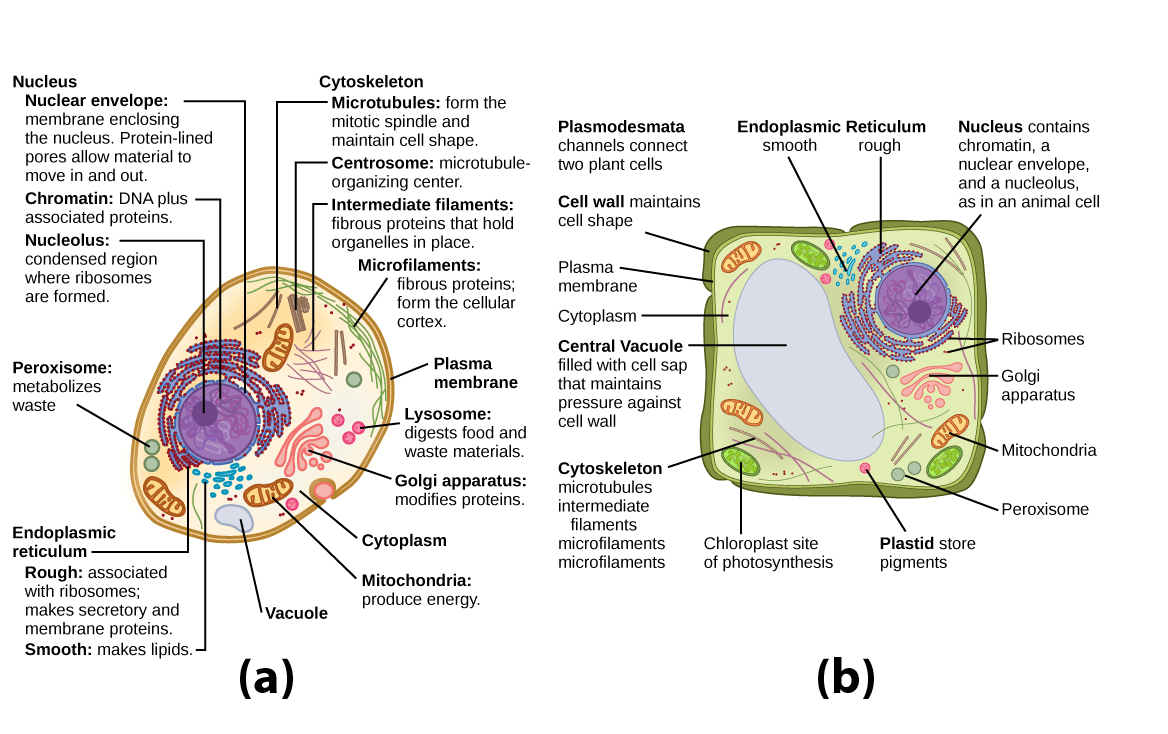 Chromatin drawing lysosome. Organelles biology for majors