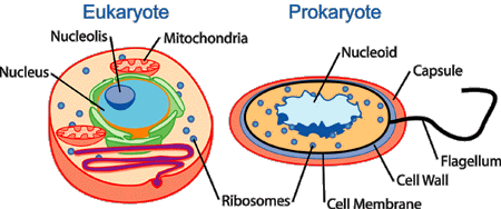 Chromatin drawing lysosome. Human physiology cell wikibooks