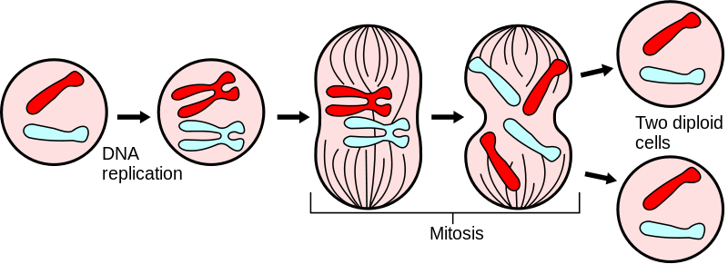 Chromatin drawing meiosis. Cell division mitosis and