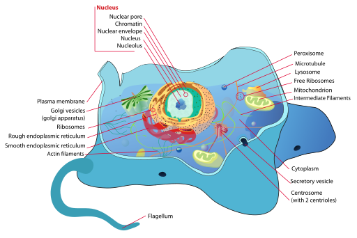 Chromatin drawing nuclear envelope. Organelles in cells definition