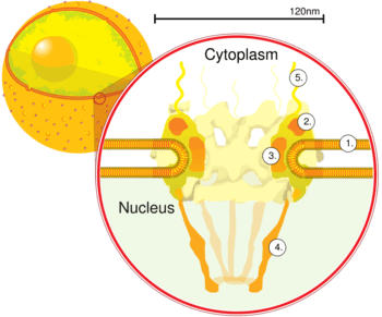 Chromatin drawing nuclear envelope. Pore