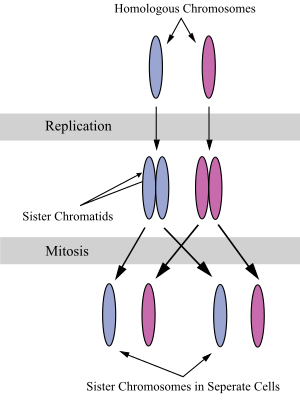Chromatin drawing simple. Sister chromatids wikipedia the