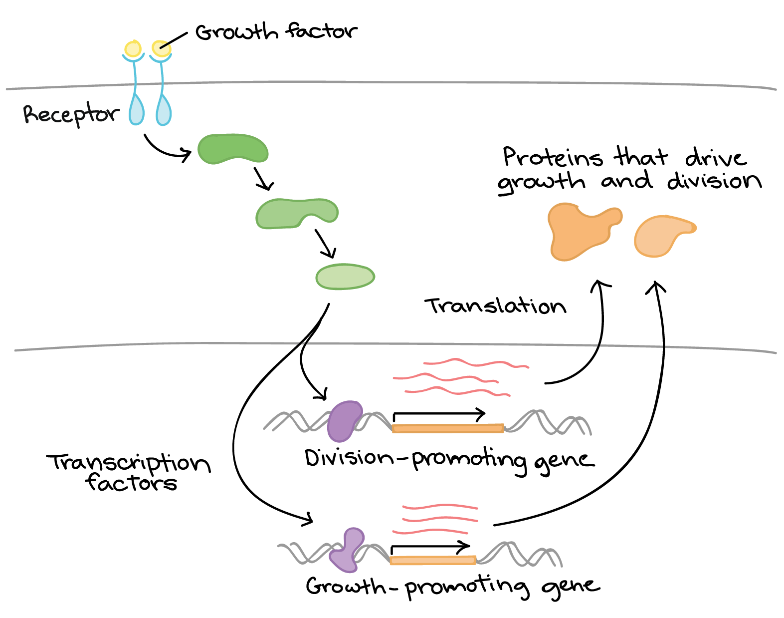 Chromatin drawing transcription factor. Overview eukaryotic gene regulation