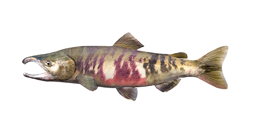 Chum salmon png. Fishing planet unofficial wiki