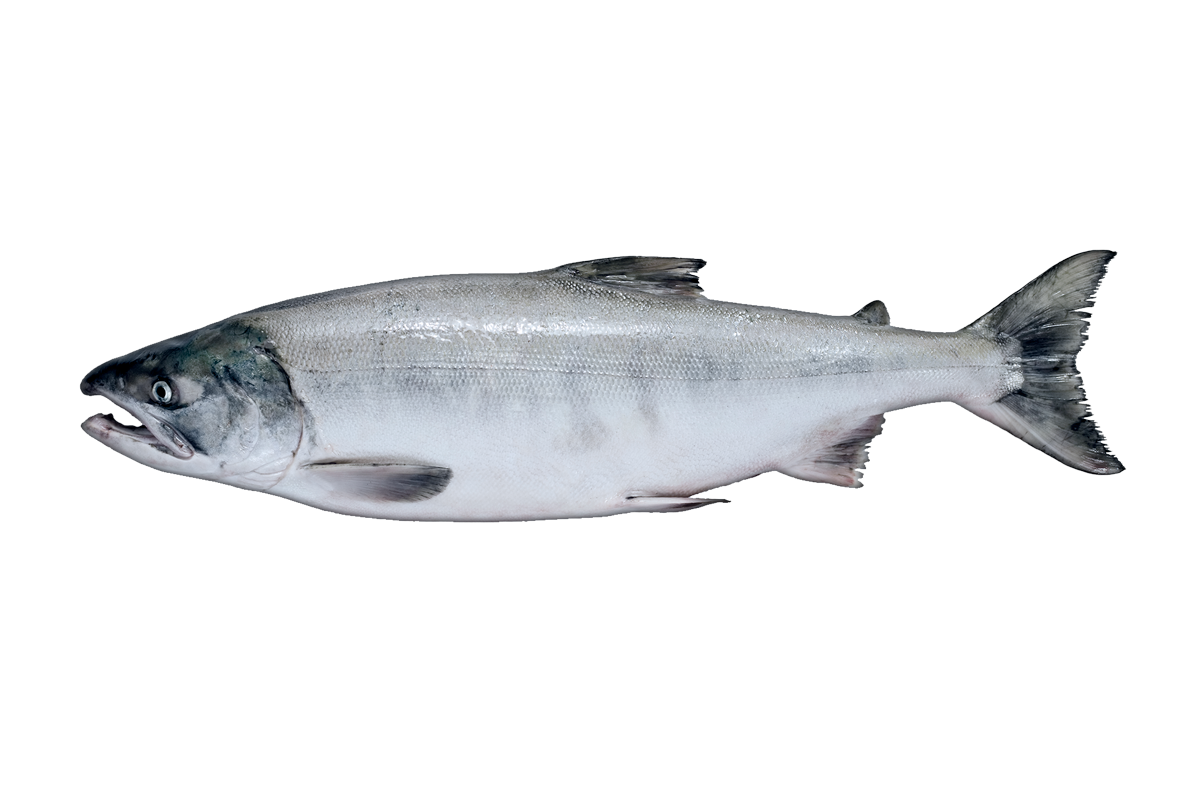 Chum salmon png. Seafood sales our products