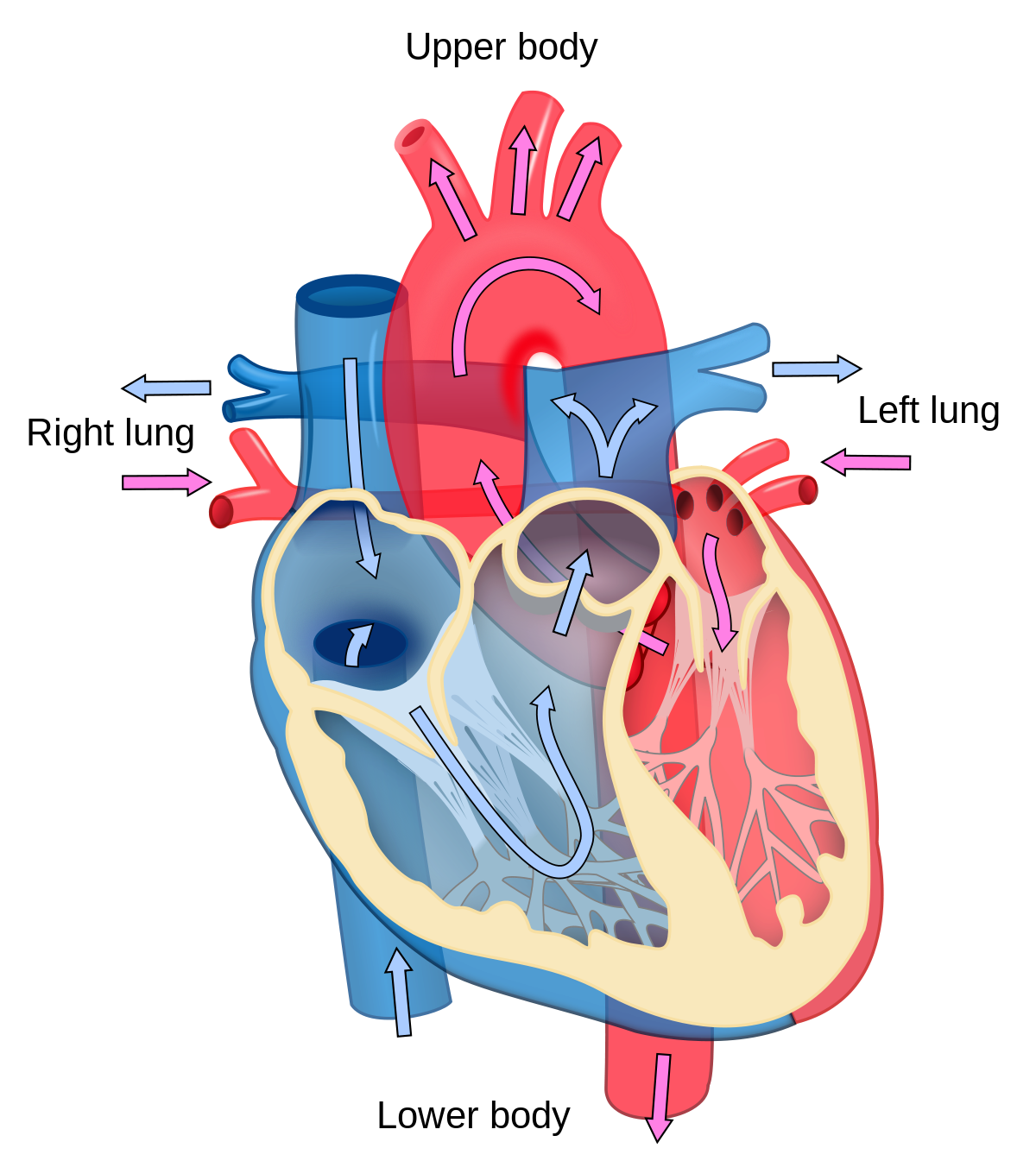 Circuit heart png. Cardiology wikipedia