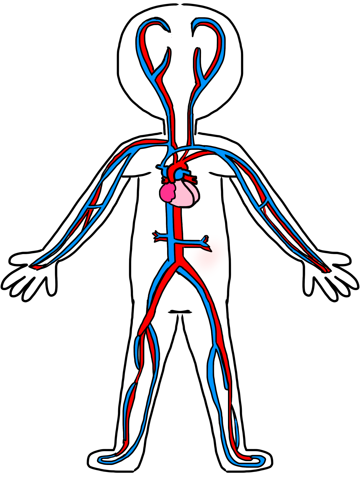 anatomy vector human heart