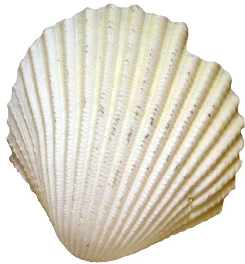 Clam vector oyster shell. Cockle seafood seashell conch