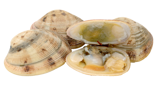 Clam vector shellfish. Clams png transparent picture