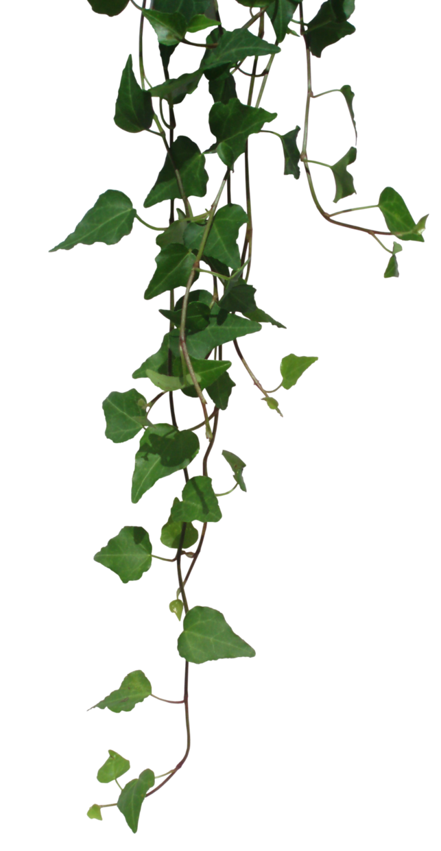 Clear transparent plant. Ivy by black b