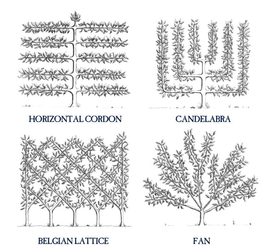 Drawing methods tree. How to espalier fruit