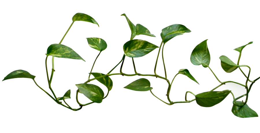 Climbing drawing money plant. Of plants encode clipart