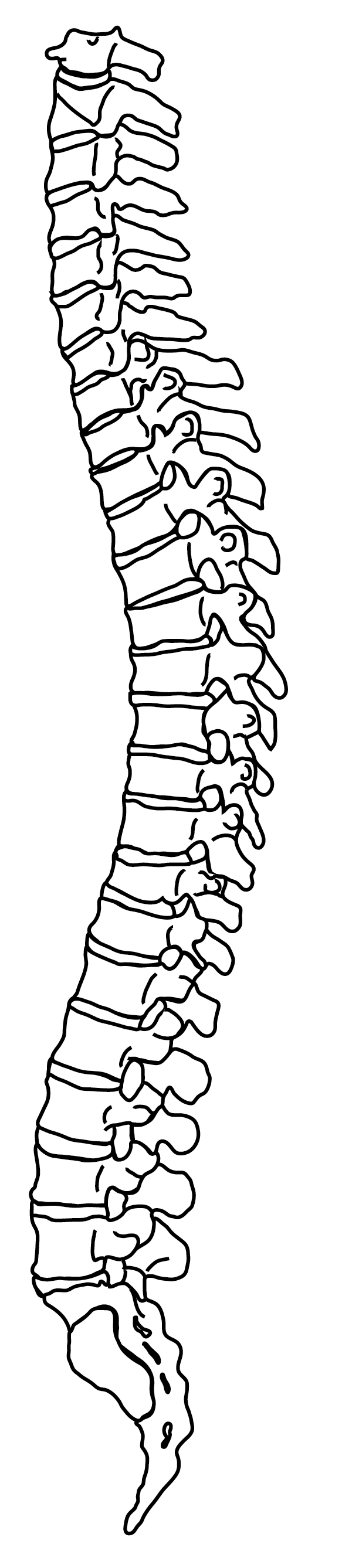 Clip art spine png. Collection of line