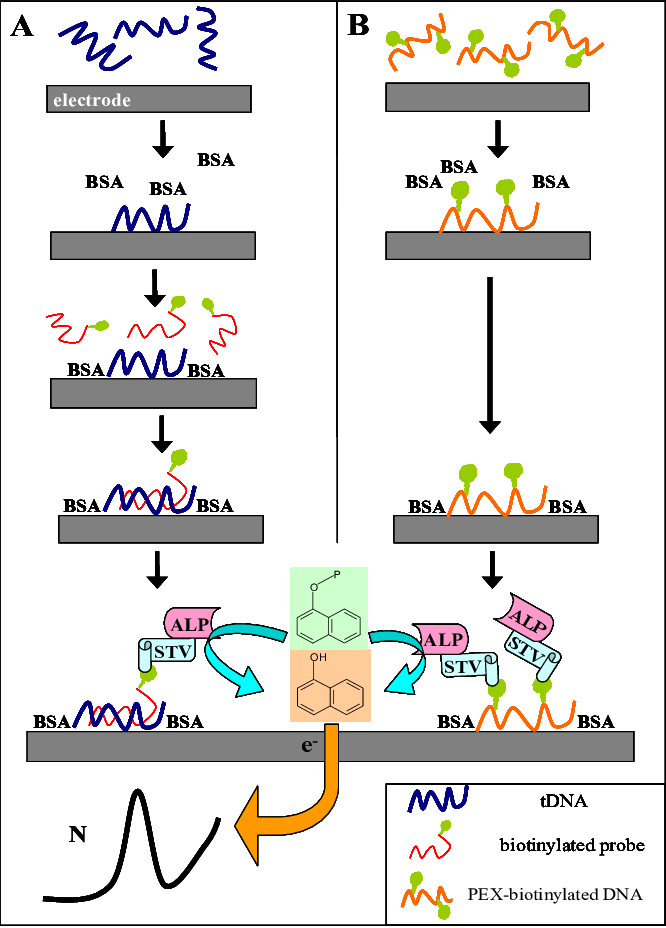 Clip tag biotin. Scheme of the electrochemical