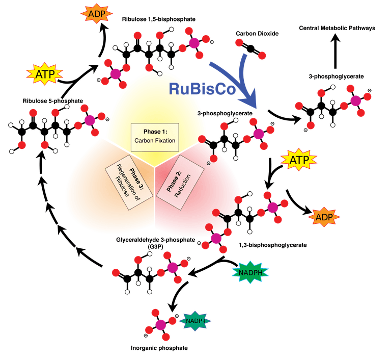 All about the calvin. Annotated drawing carbon cycle graphic free