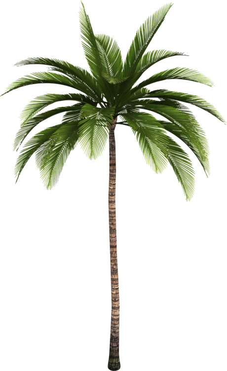Canary palm png. Trees coconut date babassu