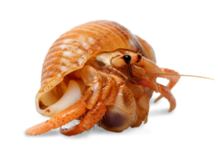 Hermit crab png. Caring for your pets