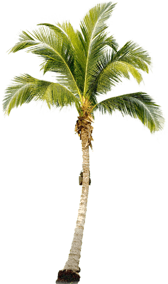 Coconut palm tree png. Of a transparent images