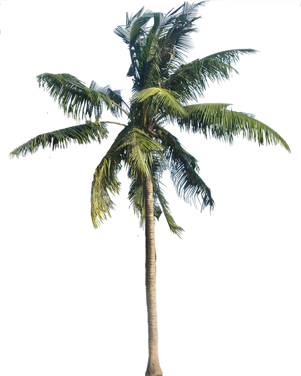 Coconut palm tree png. A collection of tropical