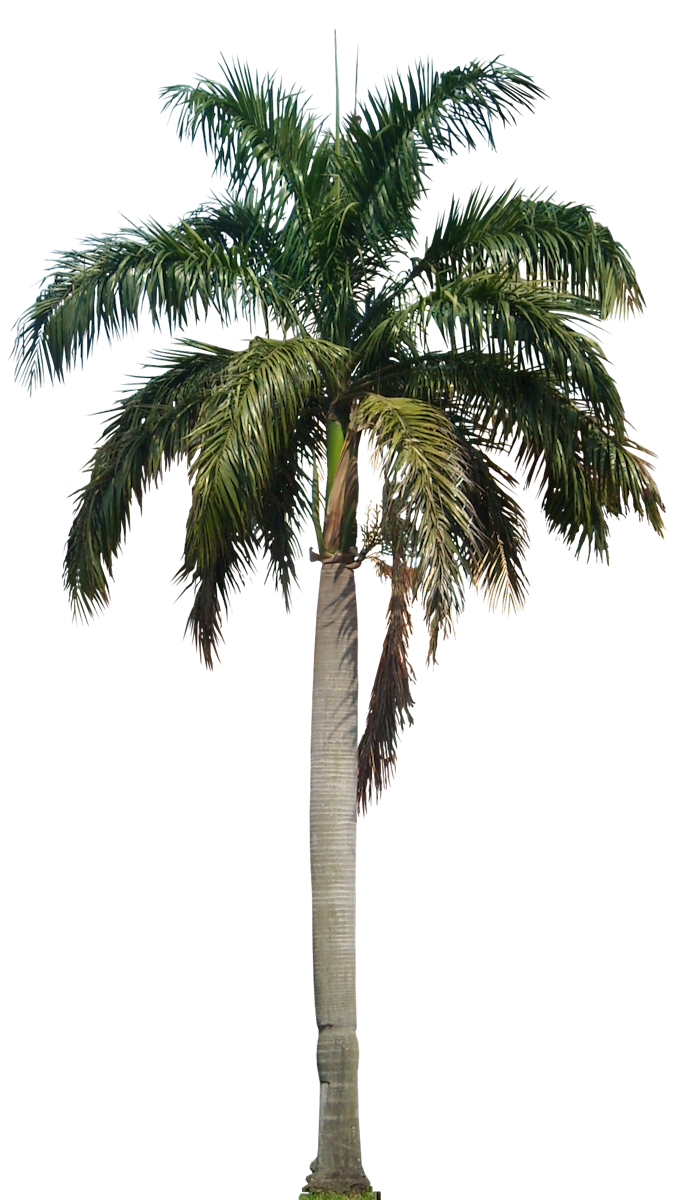 Coconut tree png images. Hd mart