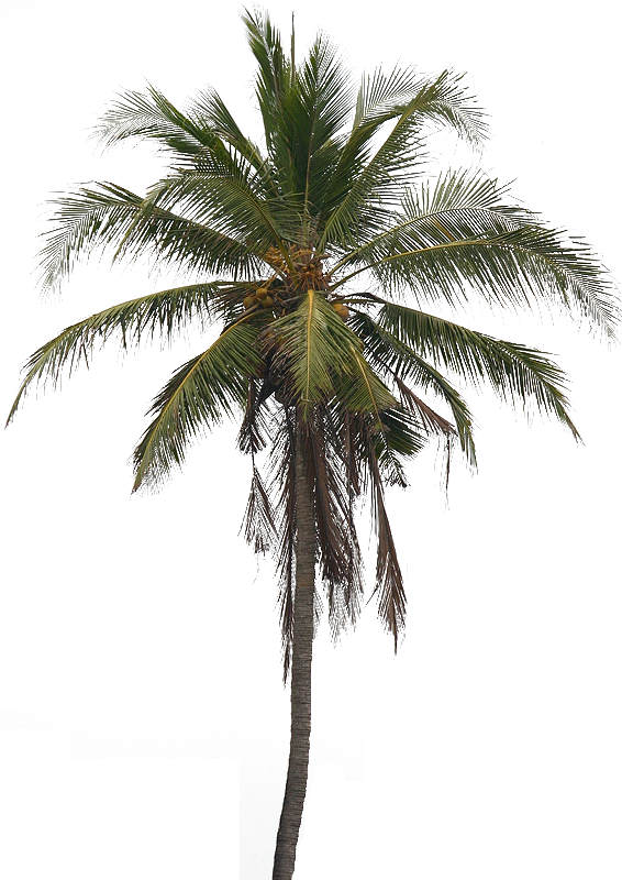 Coconut trees png. Tree images transparent free