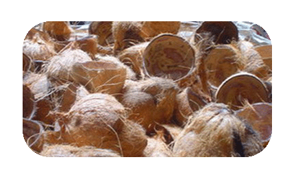 Shell buy in mangalore. Coconuts vector coconut husk graphic freeuse library