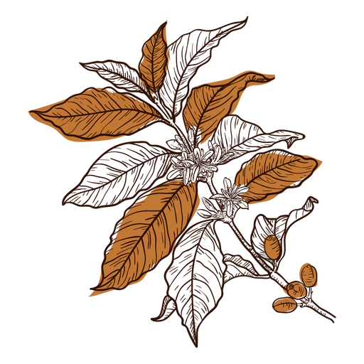 Coffee plant png. Hand drawn transparent svg