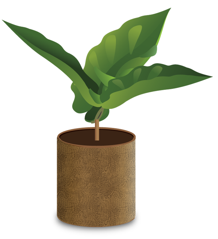 Coffee plant png. How grows a seedling