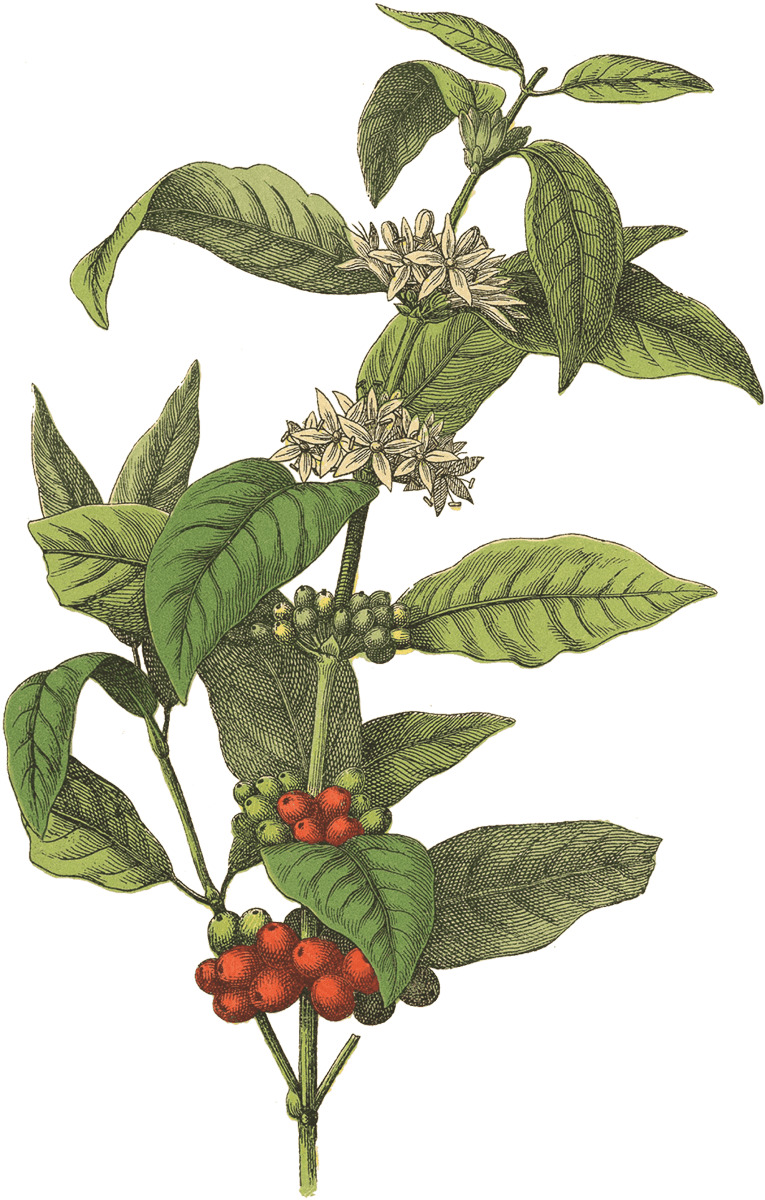 Coffee plant png. Red rooster good morning