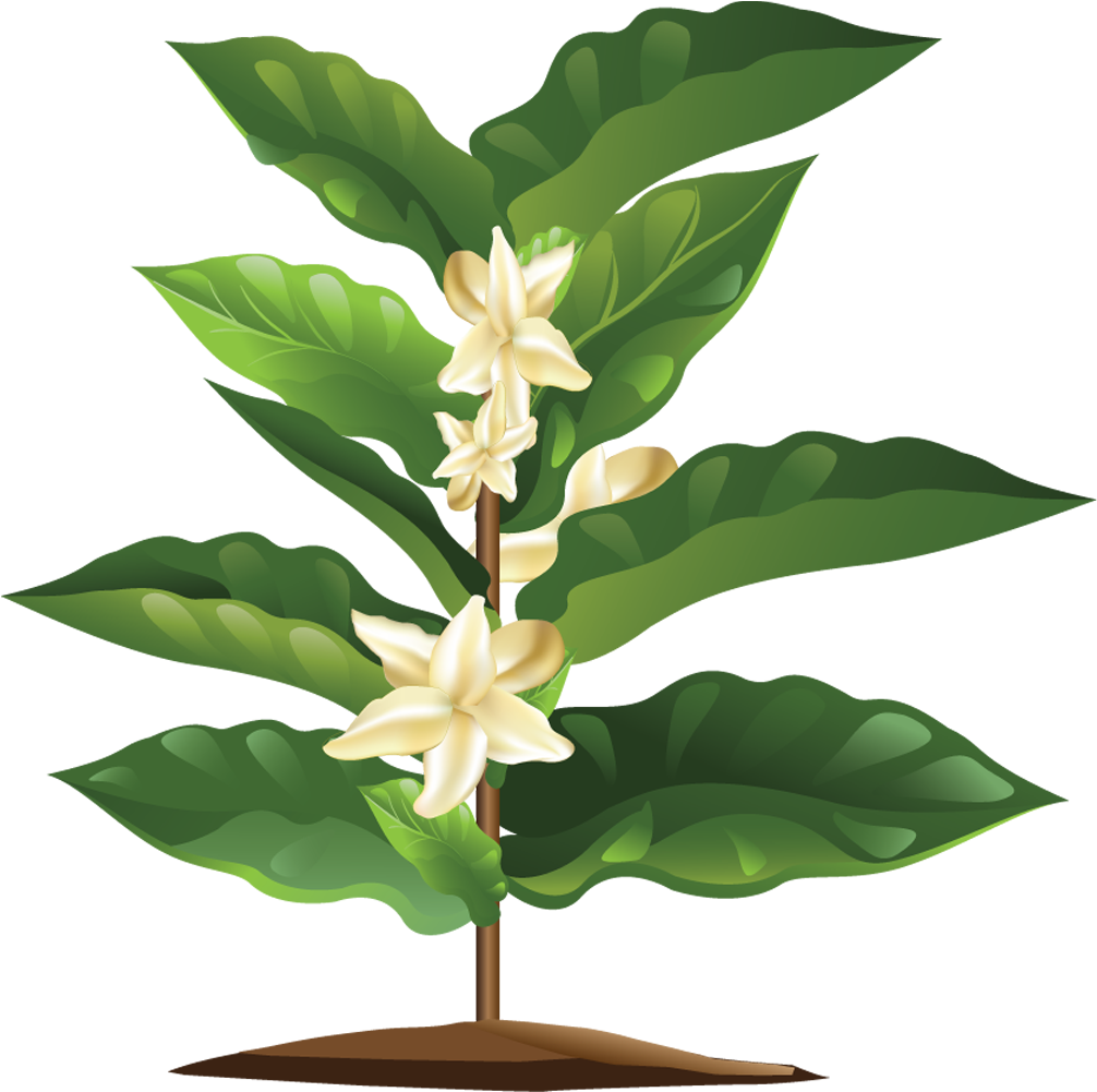 Coffee plant png. Download hd blooming transparent