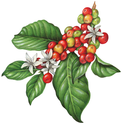 Peppermint drawing foliage plant. Coffee flowers berries fruit