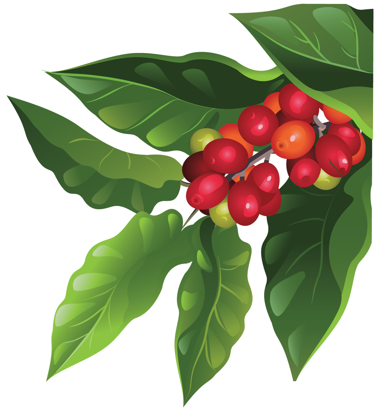 Coffee plant png. How grows a tree