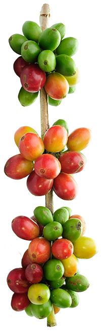 Coffee plant png. Tips for growing