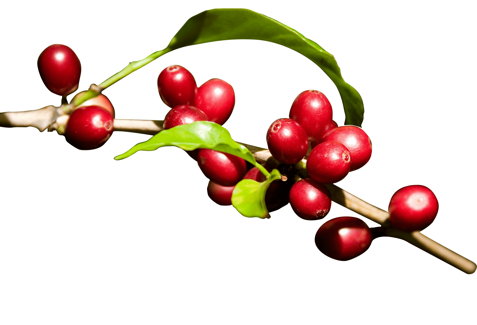 Coffee plant png. Konared energy drinks made