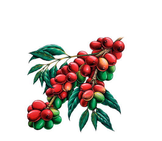Coffee plant png. Specialty nicaragua history image