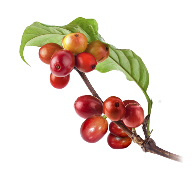 Coffee plant png. Oro caff we believe