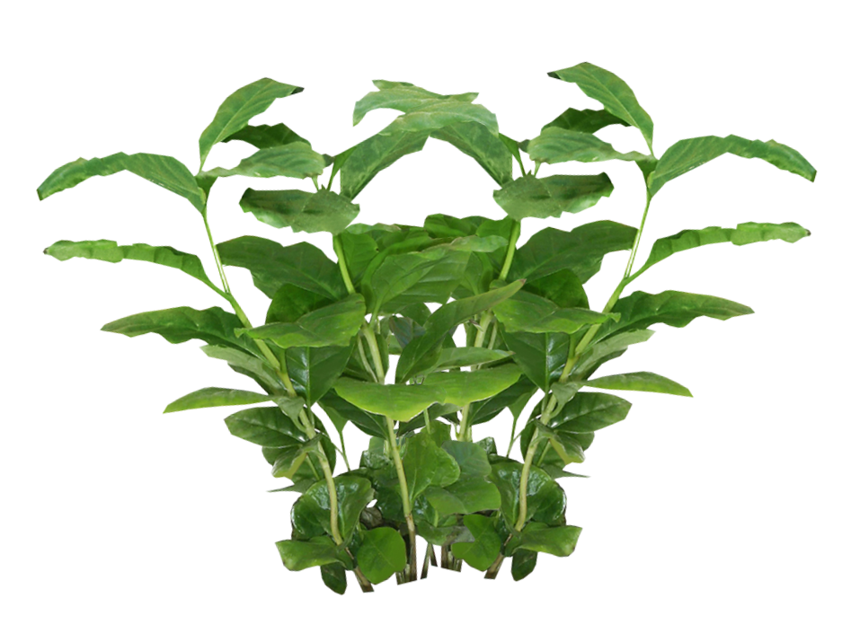 Coffee plant png. Plants transparent pictures free