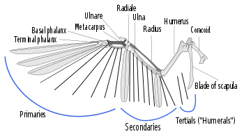 Function drawing shore bird. Flight feather wikipedia a