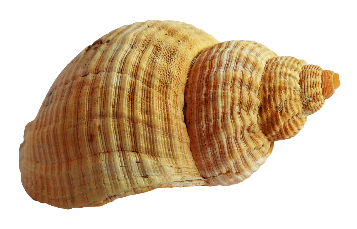 Cone snail png. Shell images pngpix sea