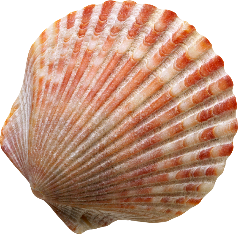 Shell transparent scallop background. Image result for beautiful