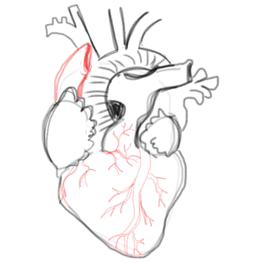 Confidence drawing artistic hand. A blank anatomical heart