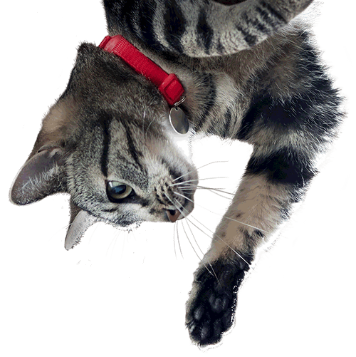 Confused cat png. Science diet youthful vitality