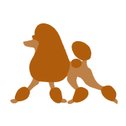 Continental clip apricot. Standard poodle trotting by