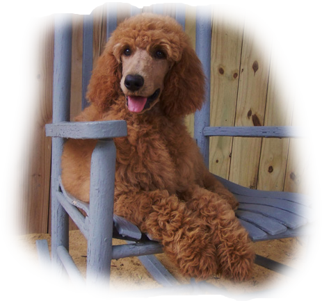 Poodle clipart brown poodle. How much does a
