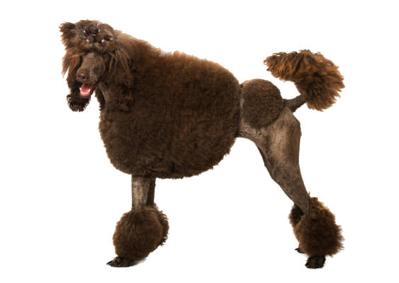 Continental clip standard poodle. Facts and information petcoach