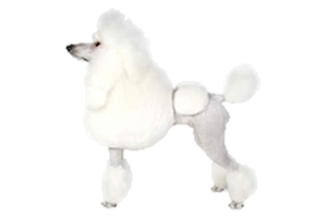 Continental clip standard poodle. Worldly dogs although today