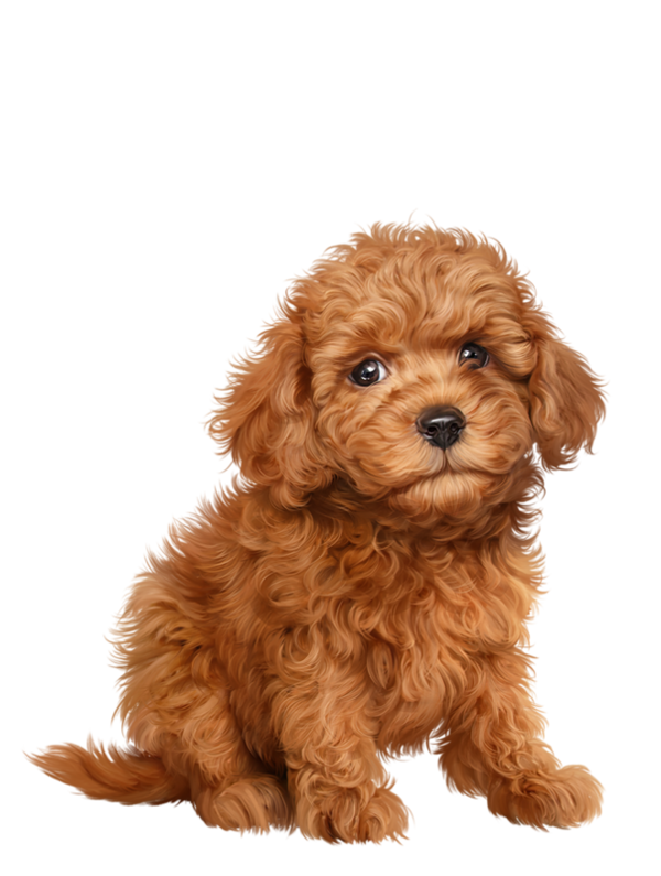 Poodle clip labradoodle. Chiens dog puppies wallpapers