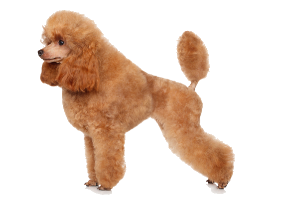 Toy facts and information. Poodle clip cut graphic library download